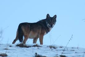 La morte del lupo